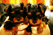 Healthy teacup yorkie puppies to loving homes