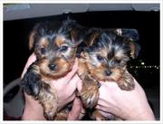 Yorkie Puppy For The Best Home