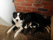 PURE BREED BORDER COLLIE PUPS,  GOING CHEAP COME PICK ONE OUT TODAY