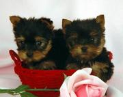 CUTE AND LOVELY TEACUP YORKIE PUPPIES FOR ADOPTION, (tracymoorgan@yahoo