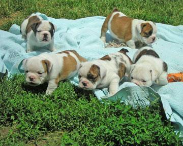Dogs For Sale Warrnambool