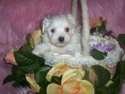 Male And Female Maltese Puppies For Free Adoption