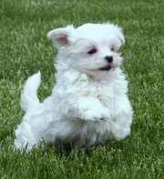Maltese Puppies For Adoption .