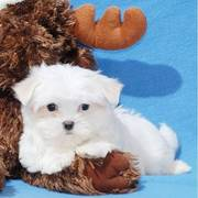 Top Quality Teacup Maltese Puppies For Good Homes