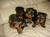 Tinny teacup yorkie puppies for free adoption
