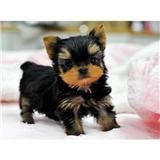 Sweet Excelent T Cup Yorkie Puppy For Free Adoption
