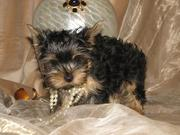 Sweet Charming Teacup yorkie puppies for adoption ( brandylens@live.co