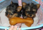 affectionate cute charming yorkie puppies for adoption