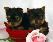 Mimi and Milo Tea Cup Yorkie Free Adoption.(macktracy89@yahoo.com)