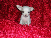 Gorgeous chihuahua puppies for adoption