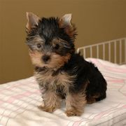 2 Yorkie Babies Available