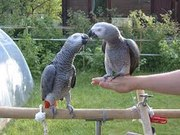 talking pair of african grey parrots for free adoption